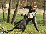 Galerie 074 Forte Schutz (www.dog-pics.at).jpg anzeigen.