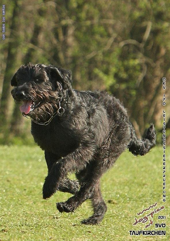 http://www.riesenschnauzer.or.at/fotos/cache/vs_OEKV%20Sieger%202011_004%20Mio%20Unterordnung%20(www.dog-pics.at).jpg
