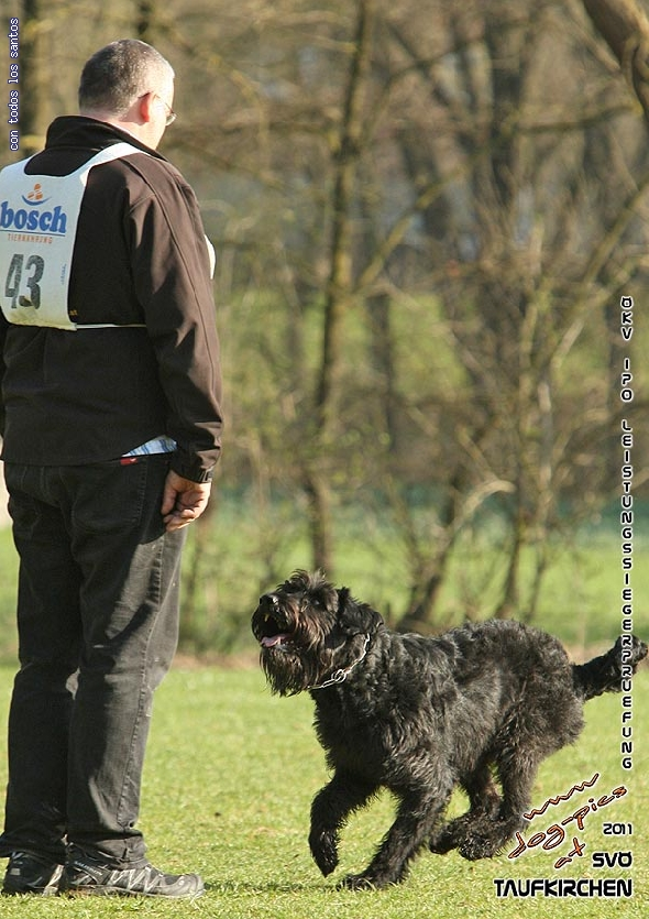http://www.riesenschnauzer.or.at/fotos/cache/vs_OEKV%20Sieger%202011_005%20Mio%20Unterordnung%20(www.dog-pics.at).jpg