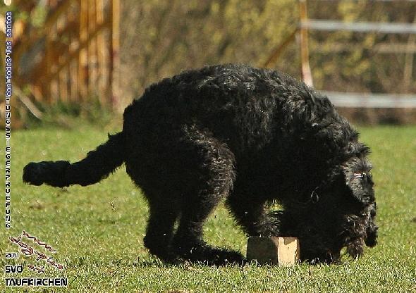 http://riesenschnauzer.or.at/fotos/cache/vs_OEKV%20Sieger%202011_006%20Mio%20Unterordnung%20(www.dog-pics.at).jpg