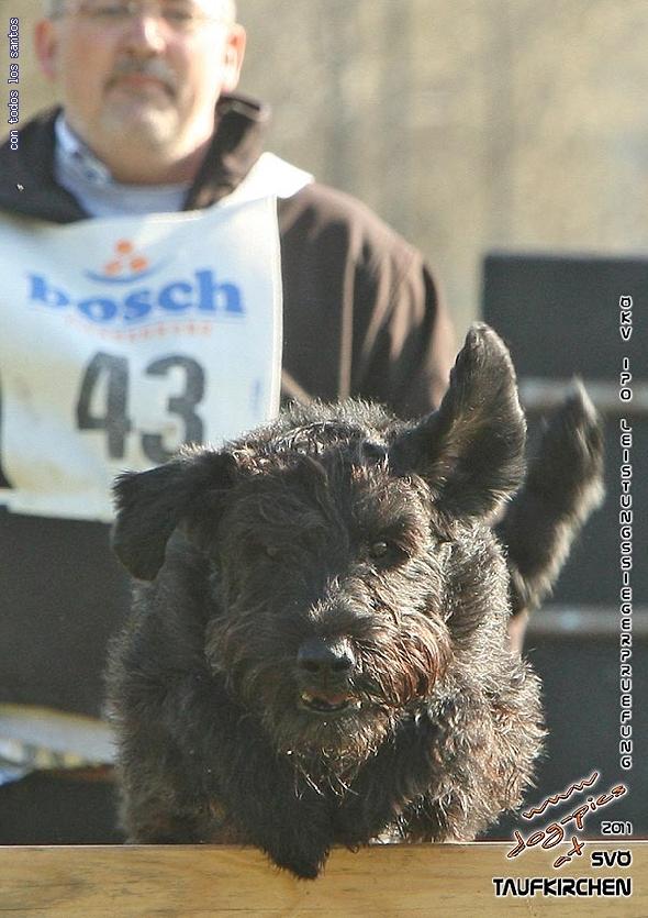 http://www.riesenschnauzer.or.at/fotos/cache/vs_OEKV%20Sieger%202011_008%20Mio%20Unterordnung%20(www.dog-pics.at).jpg